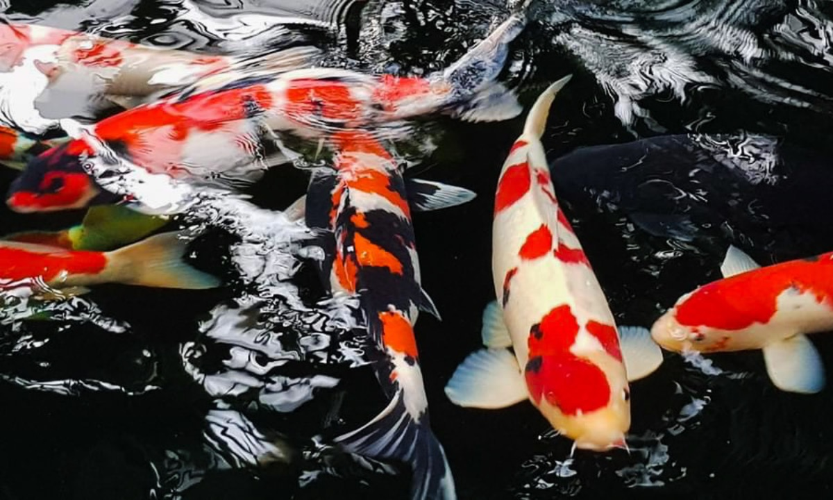Worried chemicals could affect 20 koi fishes in the pond, Huyen says no to fertilizers and chemicals.