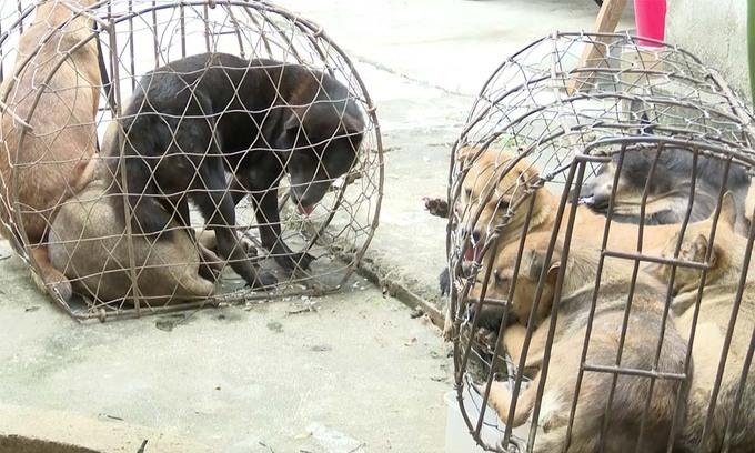 50 stolen dogs found in central Vietnam, four men arrested