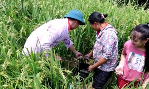 Fish farming in northern Vietnam terraced rice fields