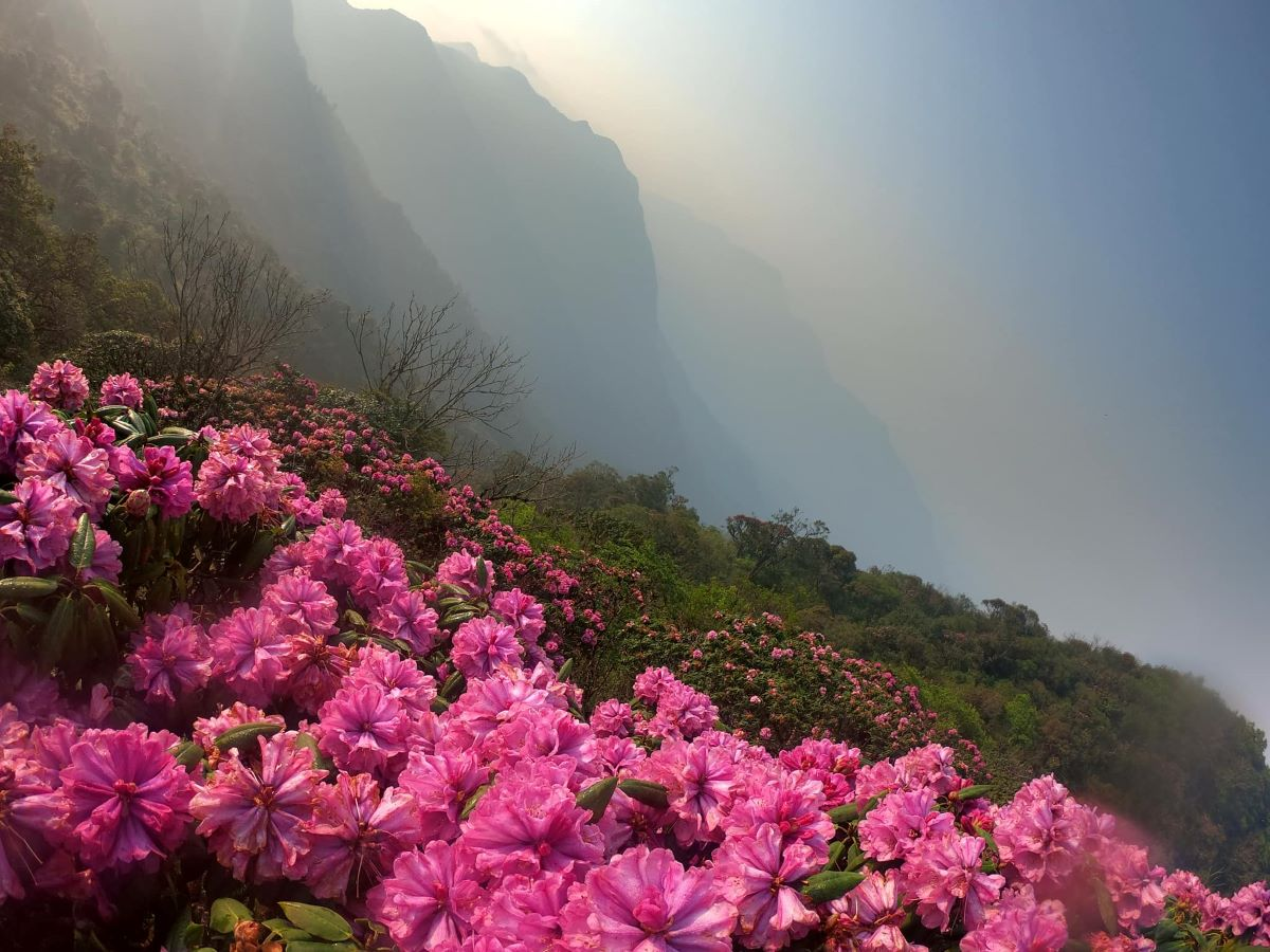 Azalea flowers on Ta Lien Son mountain in April 2019. Photo by VnExpress/Quoc Tuan.