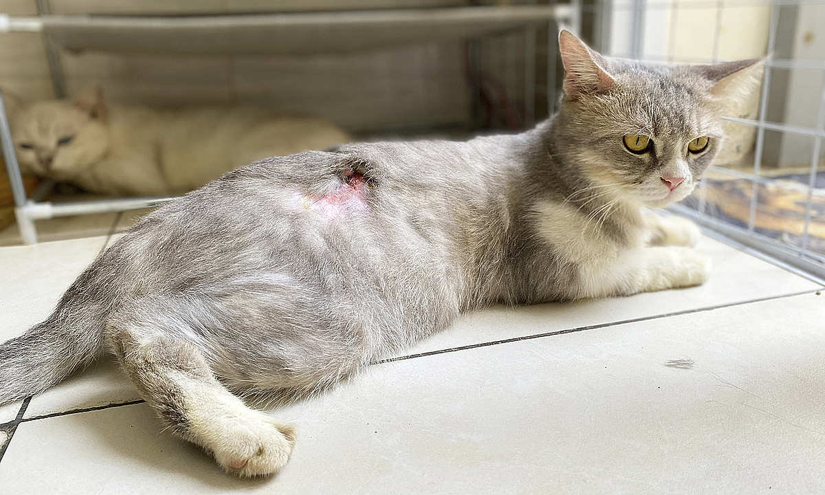 A cat was injured by airgun by cat thieves. Photo by VnExpess/Huyen Vu.