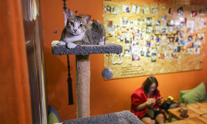 A cat cafe on Saigons Nguyen Kiem Street in 2018. The shop was closed in Au Photo by VnExpress/Quynh Tran.