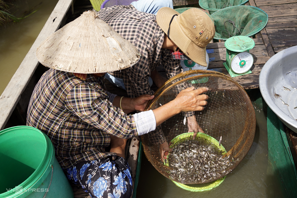 Cao Van Bi and his wife collect the fish they catch in one morning in mid September, 2020. Photo by VnExpress/Hoang Nam