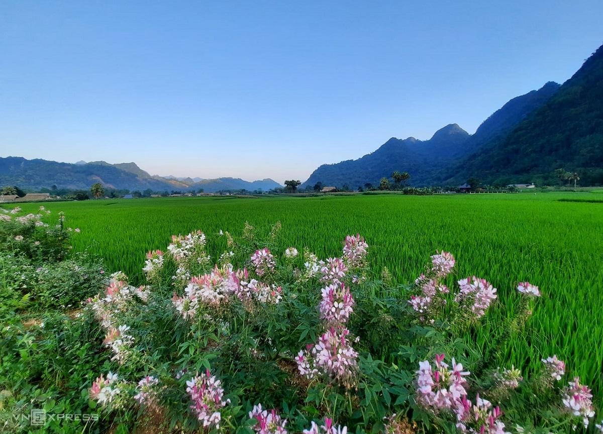 Rice fields in Lam Thuong in summer.