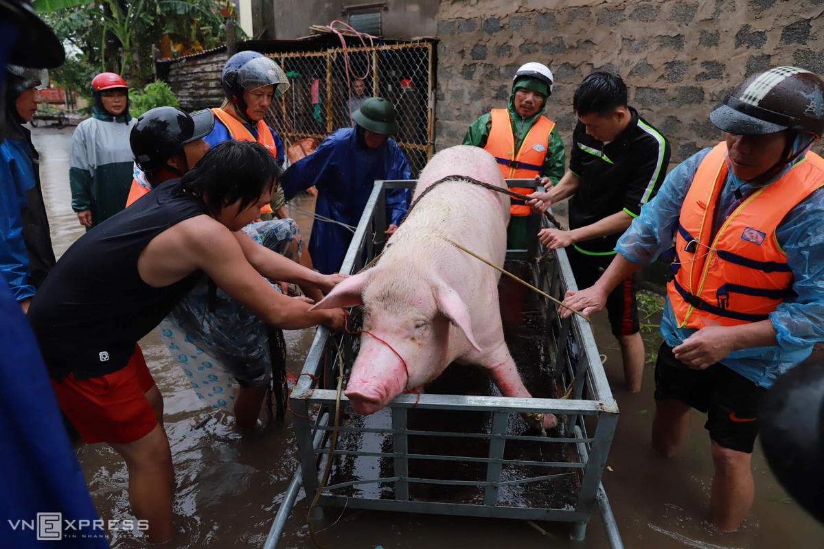 People in Dong Hoi Town of central Quang Binh Province move a pig to safety as flood waters are about to rise, October 21, 2020. Photo by VnExpress/Huu Khoa.