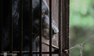 Moon bear, cub extracted from 18-year bile bondage