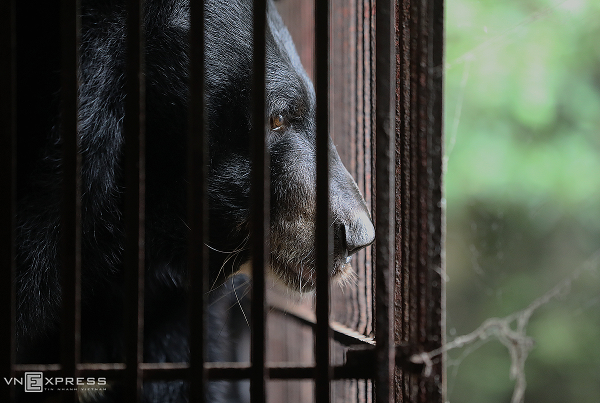 On Tuesday afternoon, the mother bear weighing 120kg and her 100-kilogram-daughter bear left a private farm in Thanh Ba District, Phu Tho Province, around from Hanoi after the farm owner voluntarily agreed to hand over them to the Vietnam Bear Rescue Center in Vinh Phuc Province under animal welfare charity organization AnimalsAsia. According to the owner, this was a rare case of successful breeding in captivity. The mother bear is about 20 years old and was locked 18 years ago. AnimalsAsia named the mother bear as Storm and the daughter bear as Torrent to commemorate those killed by multiple storms and floods that hit central Vietnam last month.