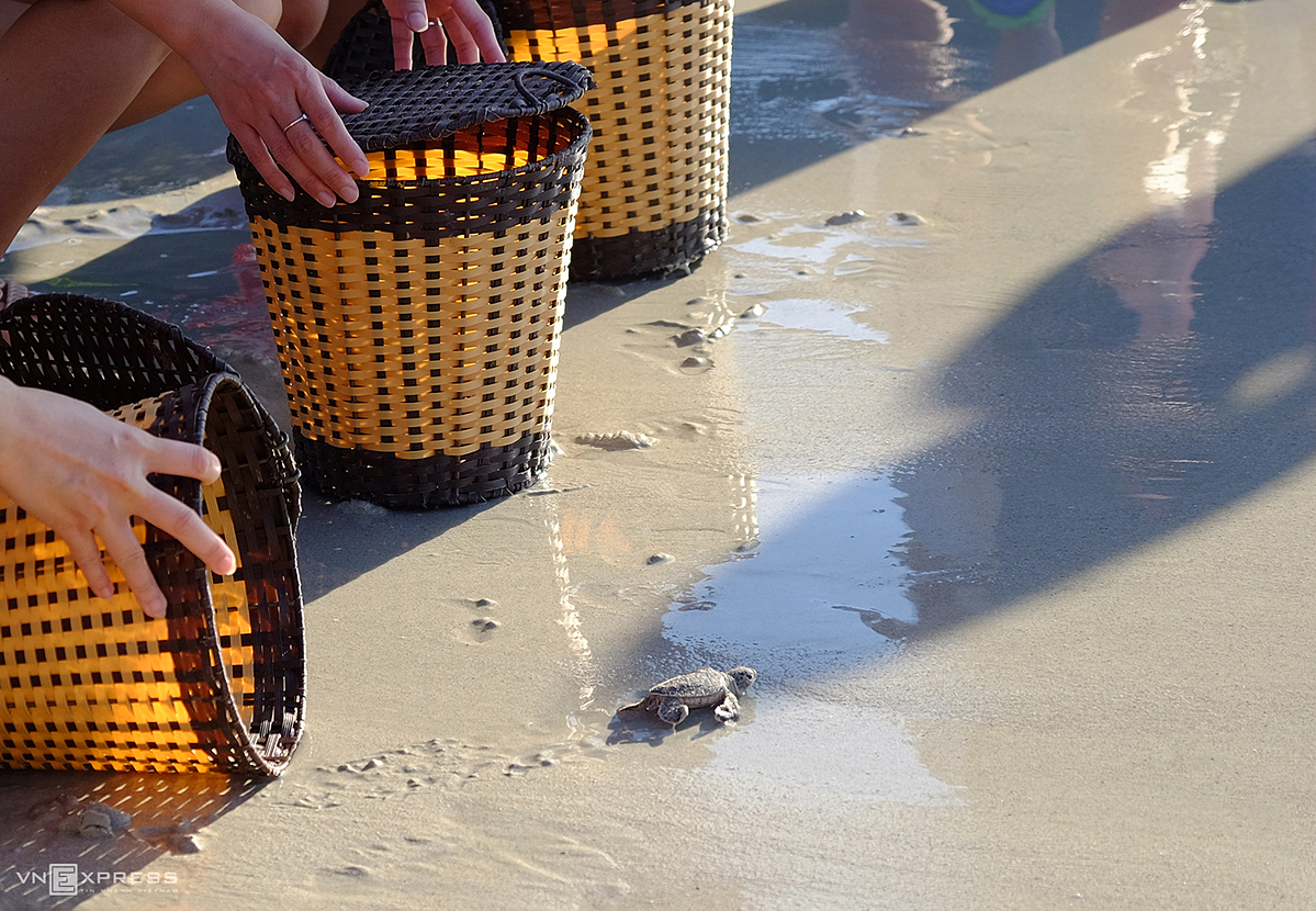 Visitors should sit down and open the basket close to the sand so that the baby turtles can crawl out and head out to sea. The release of baby turtles to the sea must be done in the early morning to avoid sunlight and high tides and waves.