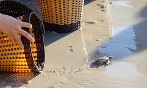 Release turtles into sea off Vietnam's Con Dao Islands