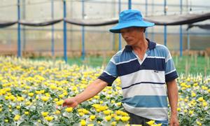 Da Lat flower farmers bank on Tet sales