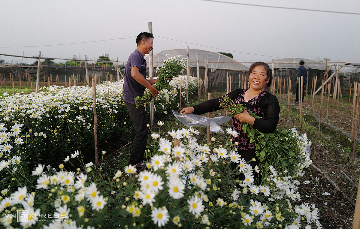 Ten days ago, the family of Nguyen Anh Tuan and Nguyen Thi Mai in Tay Tuu Ward, harvest five flower beds. My family has planted this specie for three years. During the first year it is difficult to sell, after being popular with many people, the consumption is strong, so it can increase the area. Flowers bloom on the occasion of November 20, so the price is high, the husband and wife take advantage of them. The use of harvesting early evening because the flower garden is only in full bloom for about 2 weeks, said Ms. Mai.