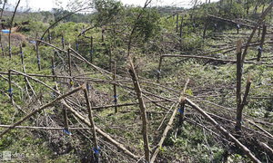 No love for latex producers as Storm Molave decimates rubber crops