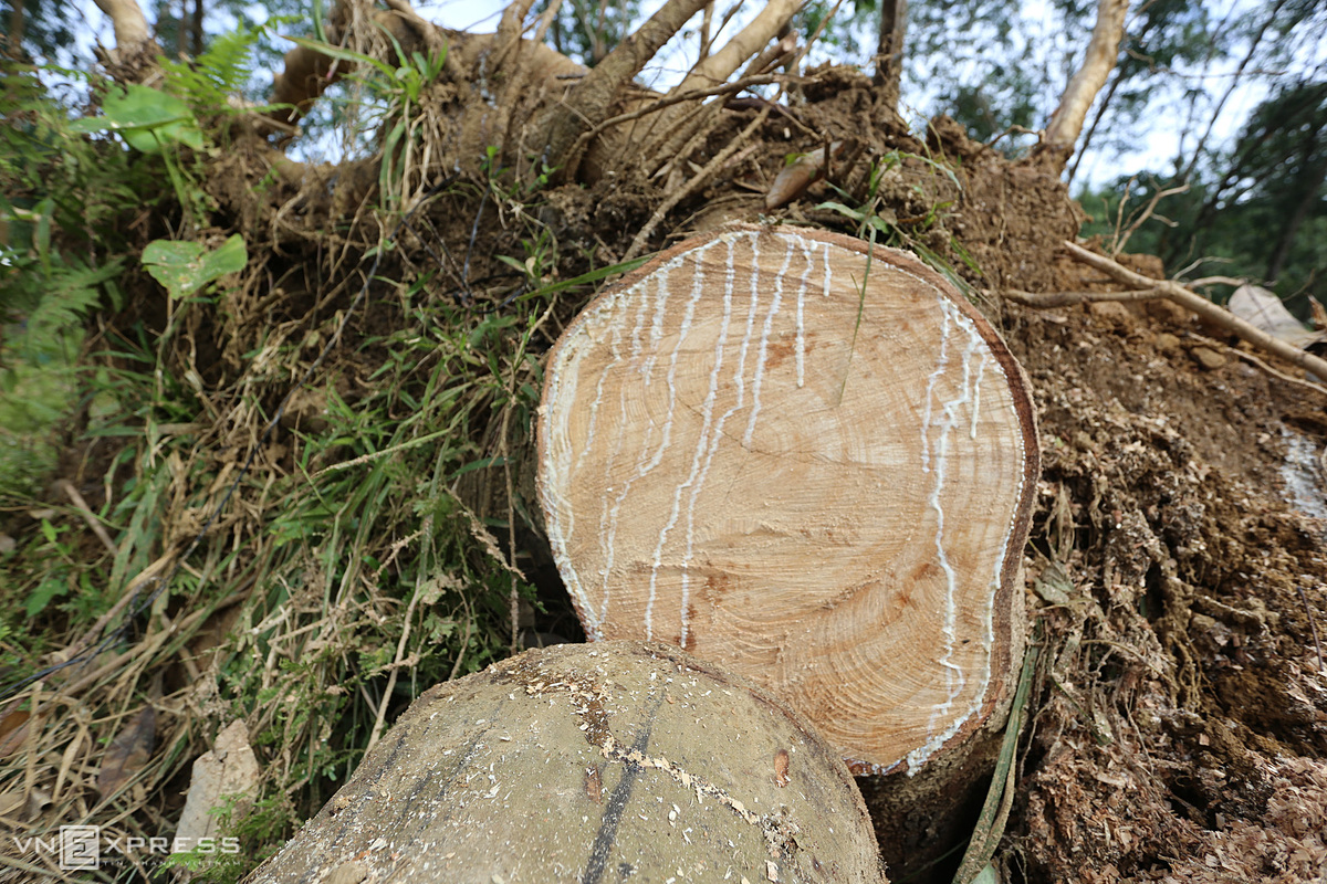Latex leaks from a tree sawn into logs at a farm in Que Binh Commune of Hiep Duc. Many farmers in the commune say they would give up the rubber trade and switch to cultivating wattle, also known as acacia.