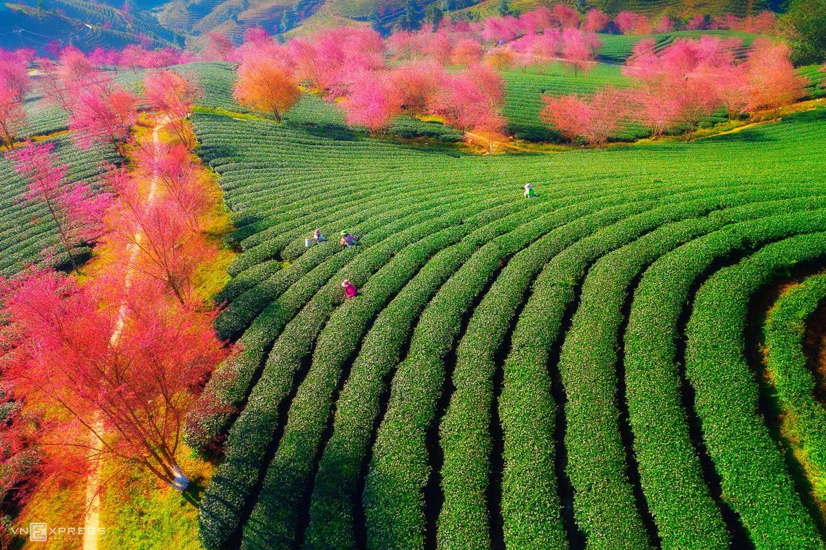 Sa Pa blushes in shades of pink