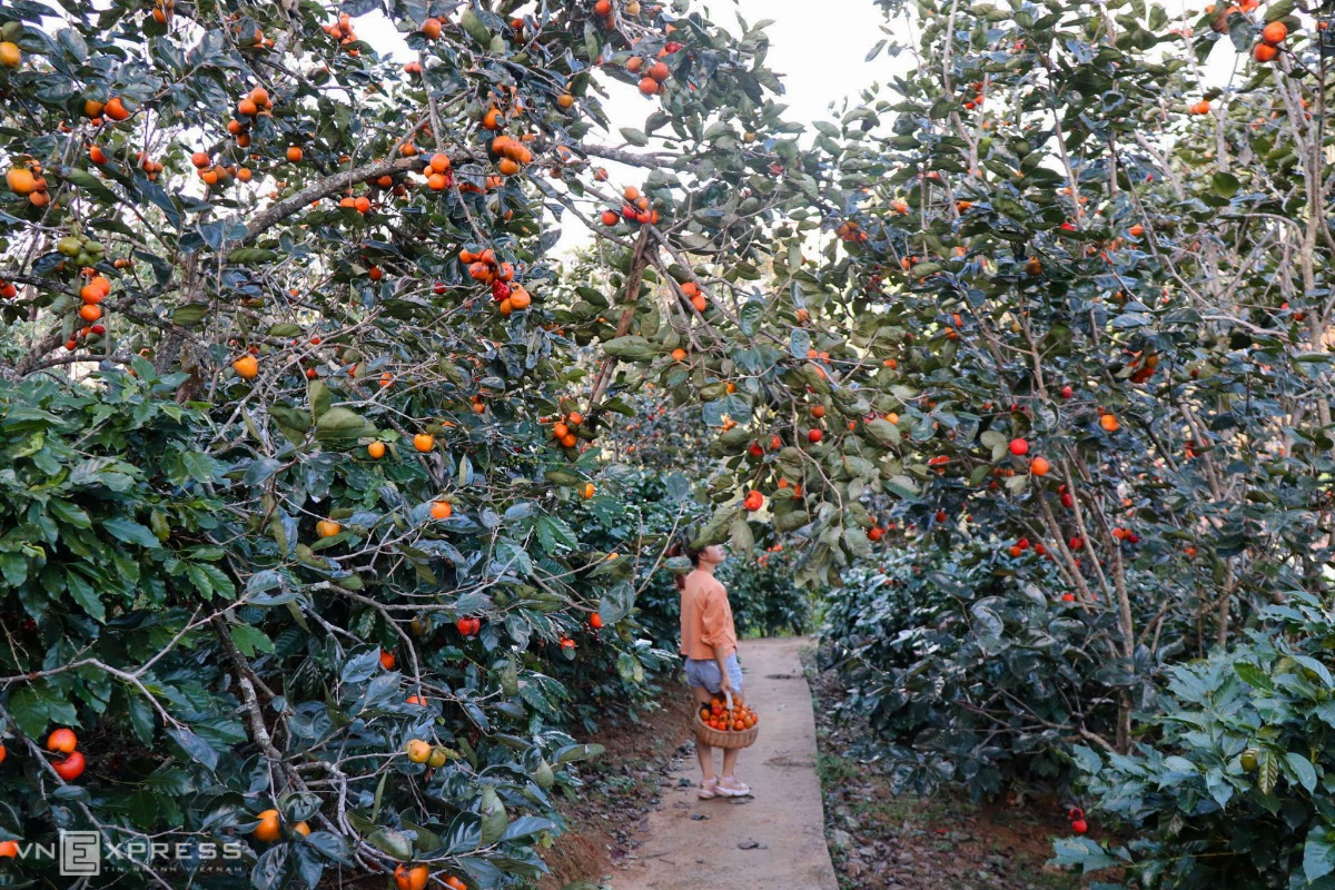 Persimmon trees have been grown for decades in Da Lat, located 1,500 meters above sea leave in the Central Highlands and named Vietnams production hub for fruit, vegetables and flowers.