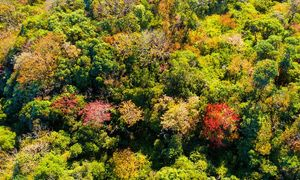 Yellow-red maple leaves cast a spell over northwestern Vietnam