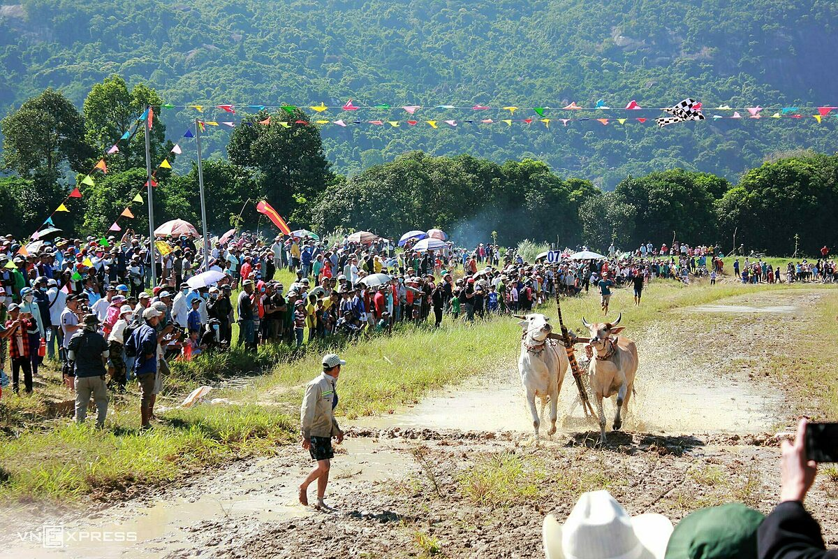 On November 28, 8eight pairs of cows participated in the race at Soai Chek Stadium in Tri Ton District. The race is part of the paragliding event Flying on Phung Hoang Son by local authorities in coordination with the Hanoi Paragliding Association to promote this destination and diversify tourism products to attract more visitors.An Giang is famous for Bay Nui Ox Race, part of traditional Sene Dolta Festival held by the local Khmer to commemorate their ancestors, pray for the living and strengthen community bonds. The festival is held annually between Tinh Bien and Tri Ton districts, which neighbor Cambodia, in lunar August and September but due tp the impacts of the Covid-19 pandemic, this years festival was canceled.