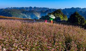 Come December, it's blooming flower season in Ha Giang