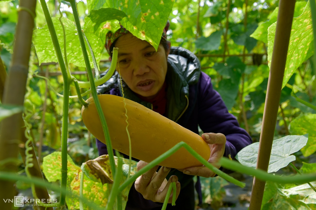 Binh carefully picks the biggest cantaloupes to extract, dry and store seeds for the next season.