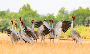 Endangered crane absent from Vietnam's Ramsar site