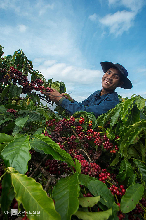 A worker comes to his garden to harvest coffee cherries.
