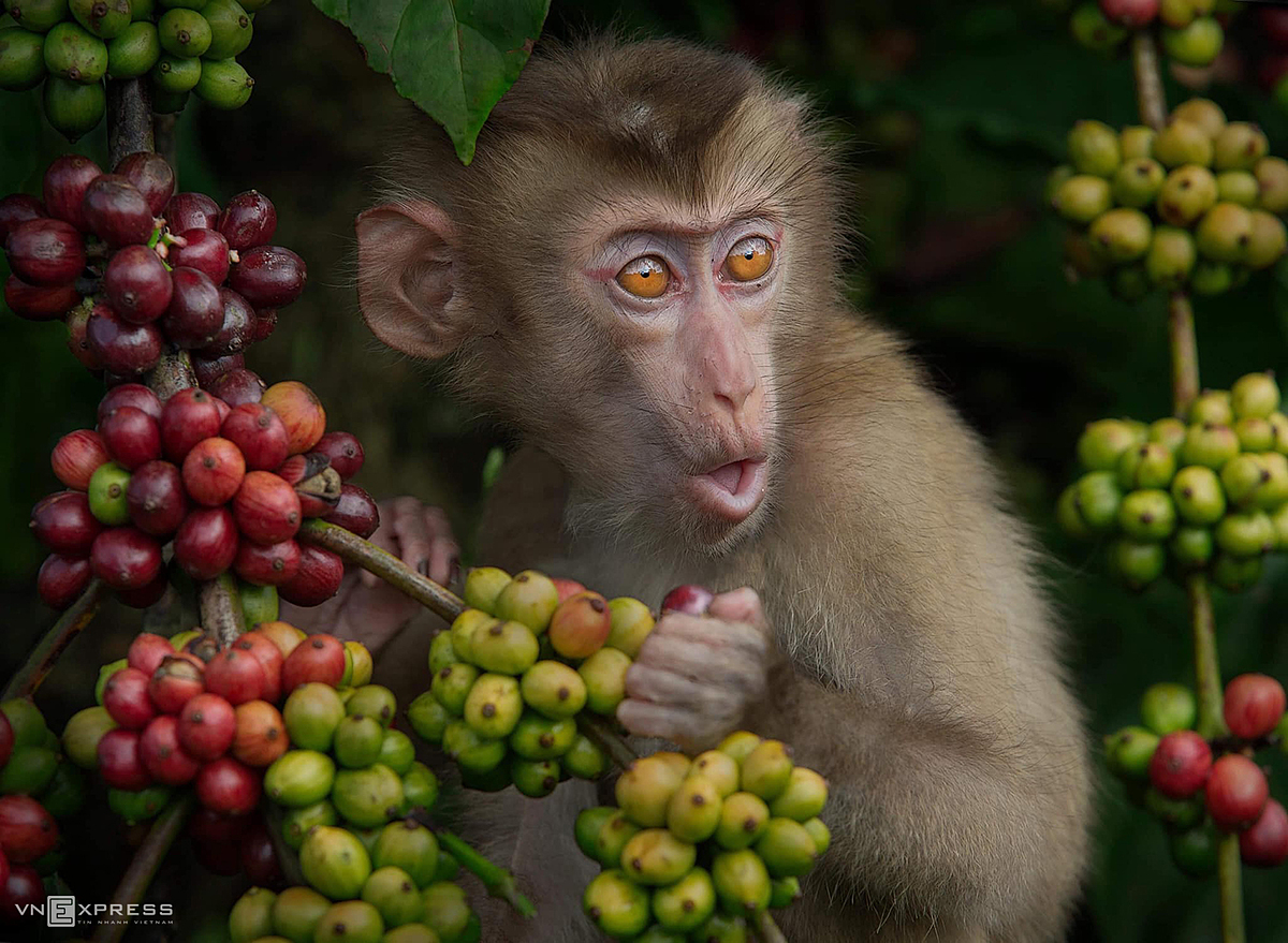 The flavor of fresh red ripe coffee cherries also attracts monkeys to come to seek food.