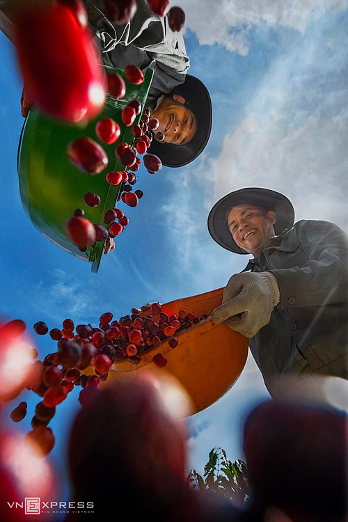 Nguyen Ngoc Thai who made the photo collection, said that his family also grows coffee and hires workers to pick up cherries and their salary will be paid based on weights, with about VND70,000 - 80,000 per quintal. Working hard, workers can pick 3 - 4 quintals of coffee cherries a day.