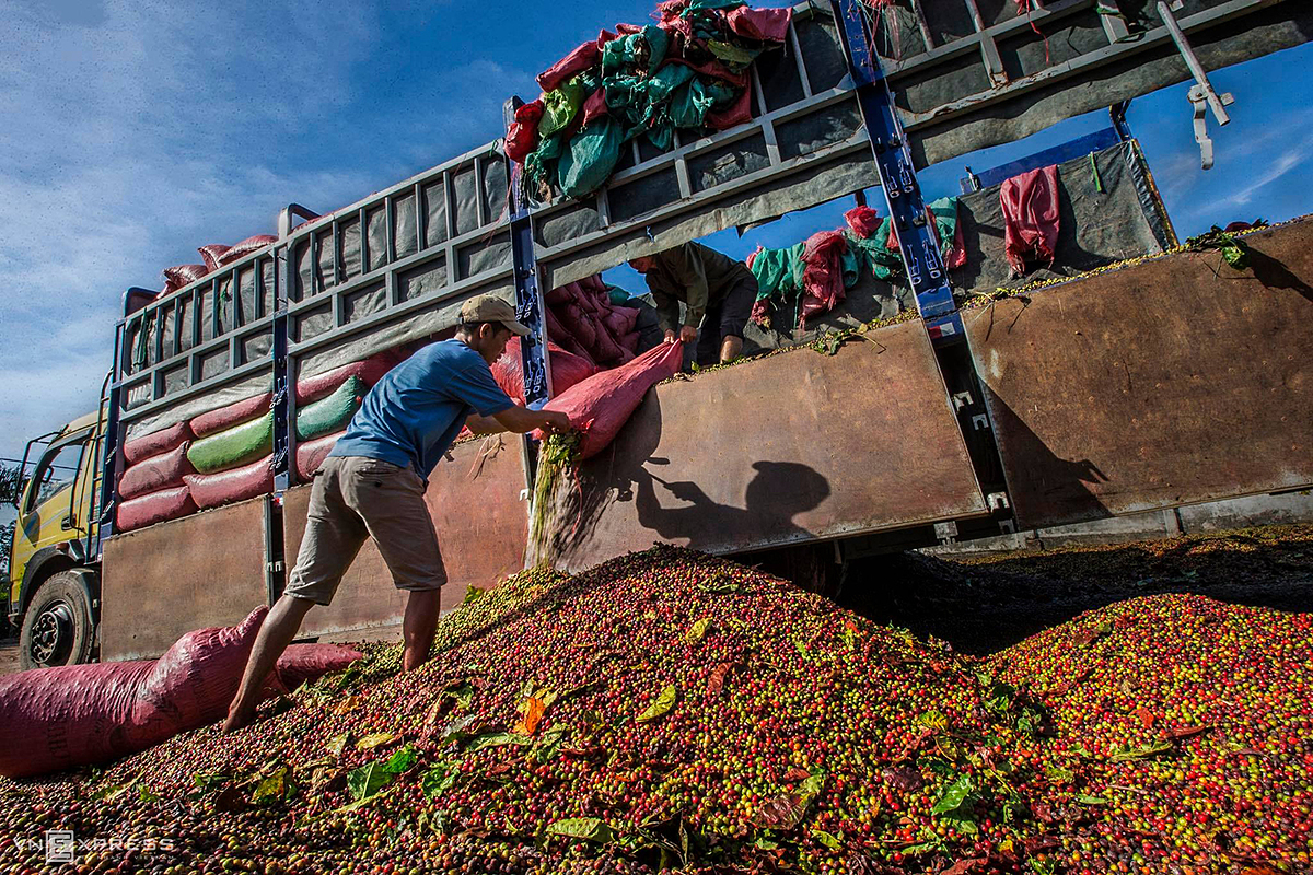 Then, locals dry coffee cherries at their yard under the scorching sun. Most coffee-growing families have their own yards to serve for drying coffee. On peak days of the harvest season , people also take advantage of space in the garden and outside the alley to dry coffee cherries on  canvas.