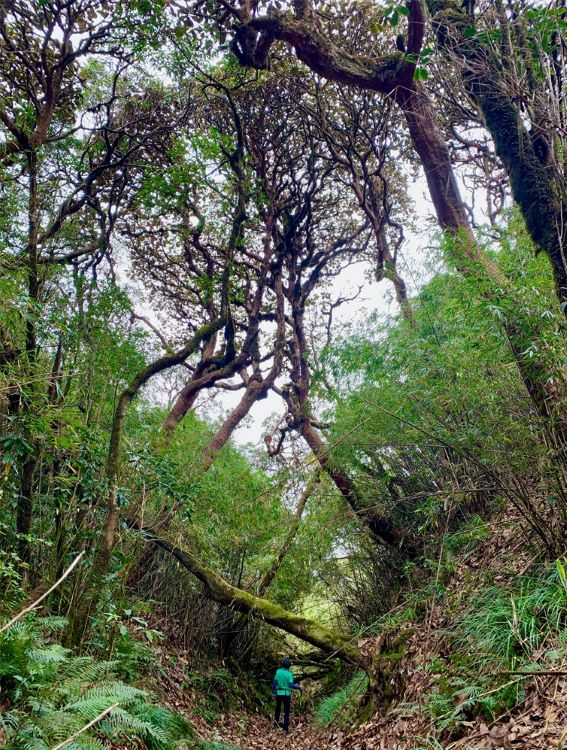 Ancient forests on the way to the top of Pusilung.