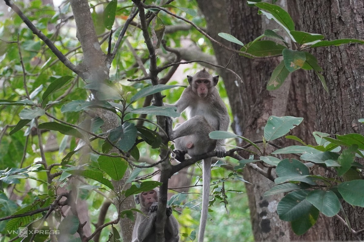 Two monkeys sitting on the vine, waiting for dragon fruits in Ta Cu National Reserve. Photo by VnExpress/Viet Quoc.