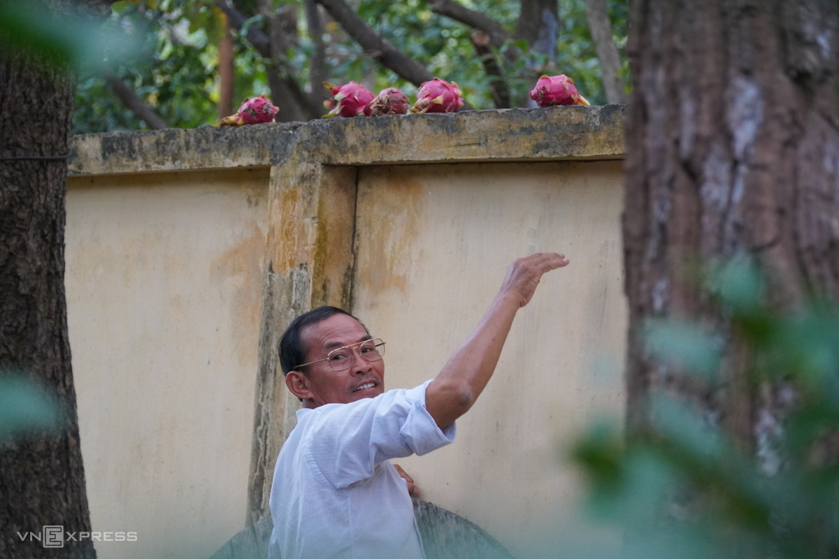 Cao Van Quyet putting dragon fruits on the terrace's surrounding walls for the monkeys: Photo by VnExpress/Viet Quoc.