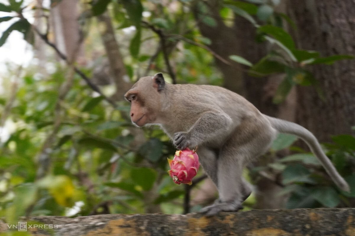 An adult monkey going down to pick up the dragon fruit. Photo by VnExpress/Viet Quoc.