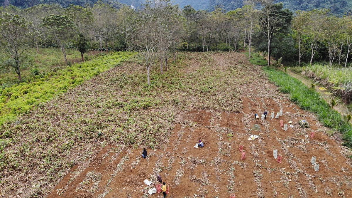 Canna harvest season in Thanh Hoa