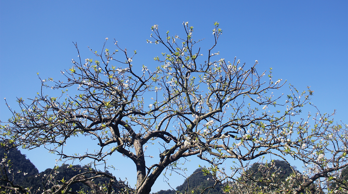 Plum blossoms in Na Ka Valley.