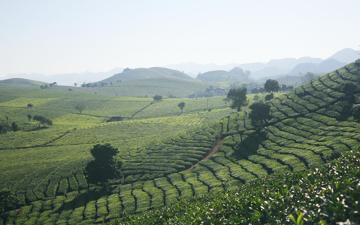 Tea plantations in Moc Chau.