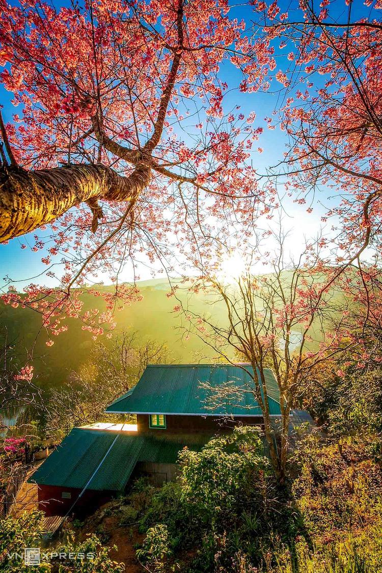 Da Lat dipped in cherry blossom pink