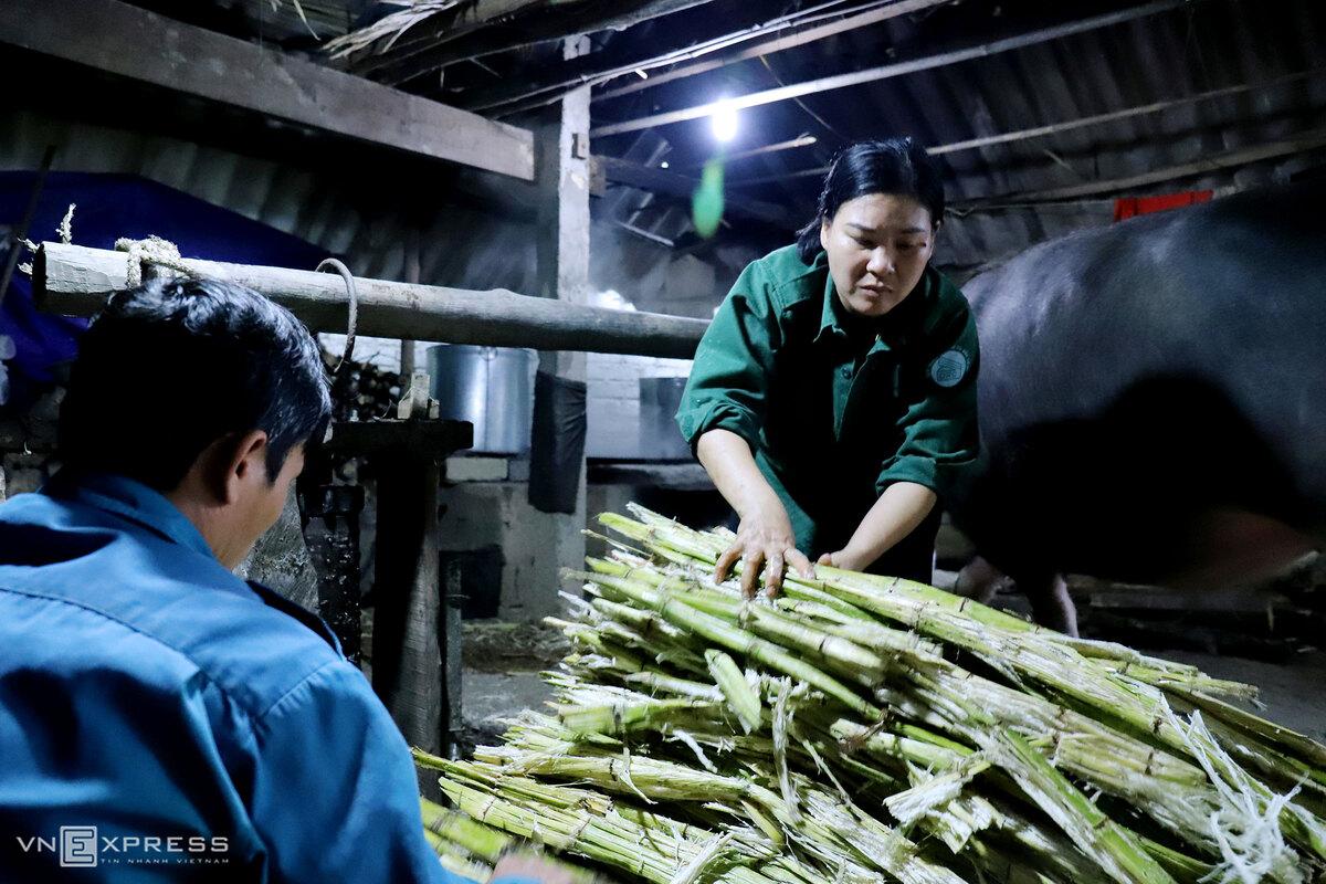 In central Vietnam, buffalo power makes sugar