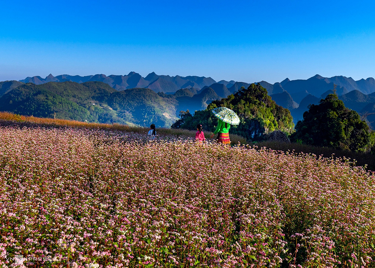 Hanoi-based Nguyen Duc Phuoc captures the photo of Hmong girls walking on a field of buckwheat flowers blooming in pink on a hillside of over 5,000 hectares during his trip to the mountainous province of Ha Giang last month.Year-end is the time when ethnic people in the northern highlands of Vietnam, such as Ha Giang Province, roll up their sleeves to harvest buckwheat, a type of grain they use to make cakes and wine. But for locals there, mostly ethnic minority people, the plant is purely a source of food.