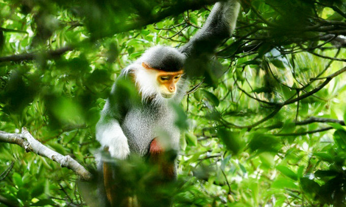 New groups of endangered langurs found in central Vietnam