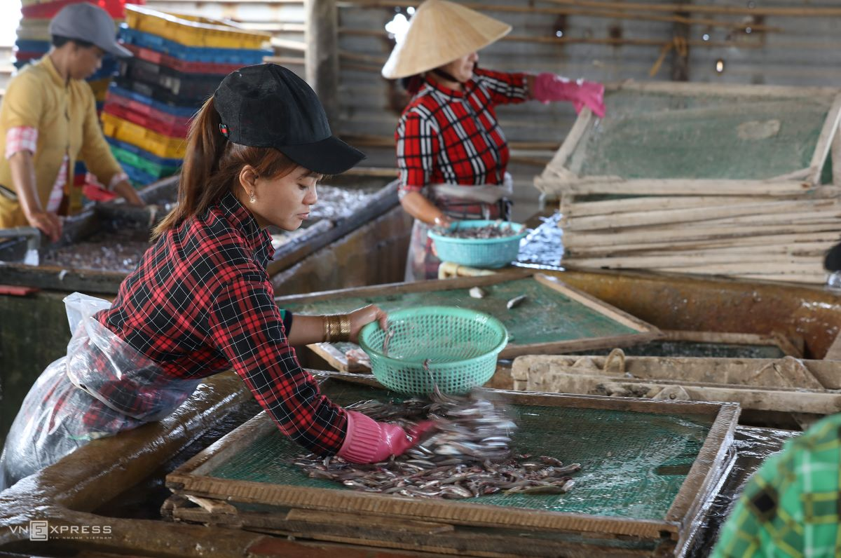 Workers spread anchovies on nets before boiling them. The average wage for a seafood worker this season is VND300,000 ($13) per day and double if they work night shifts.