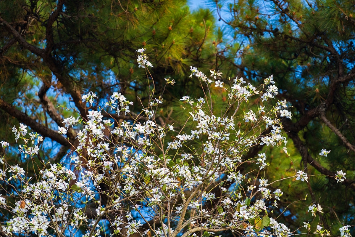 Da Lat gets bedecked in white flowers