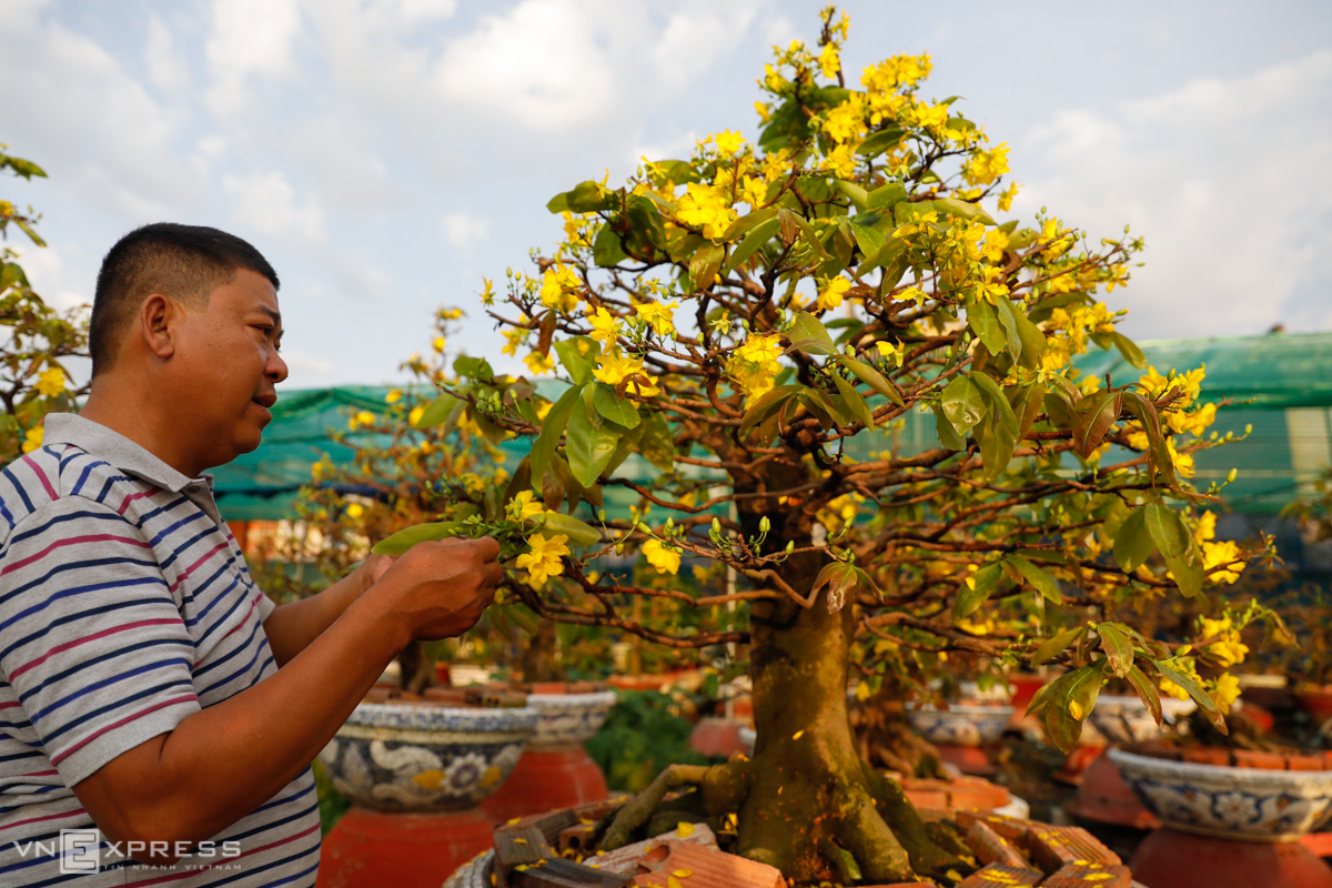 Nguyen Ngoc Phuong, a 43-year-old apricot garden owner, caresses his blooming VND500 million ($21,700) yellow apricot tree. He ascribed the early blossoming to an extra 13th lunar month this year.Phuong is one of a dozen apricot garden owners in Thu Duc City and An Phu Dong Ward of District 12 to suffer from this untimely blossoming.