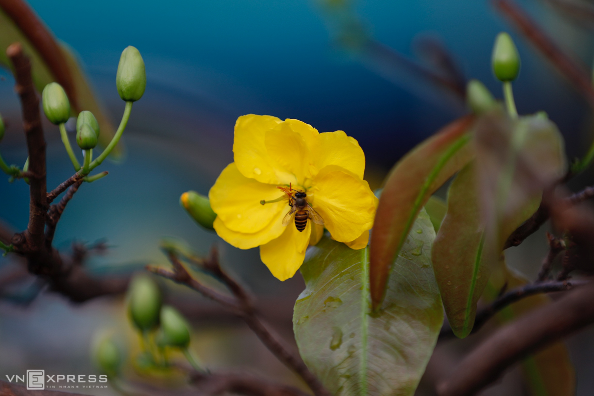 Yellow apricot flowers attract bees hungry for nectar.The owner also pointed out that abnormal weather conditions were another contributing factor. The sudden change from sunny, dry to rainy weather has made trees suffer from temperature shock and bloom sooner.
