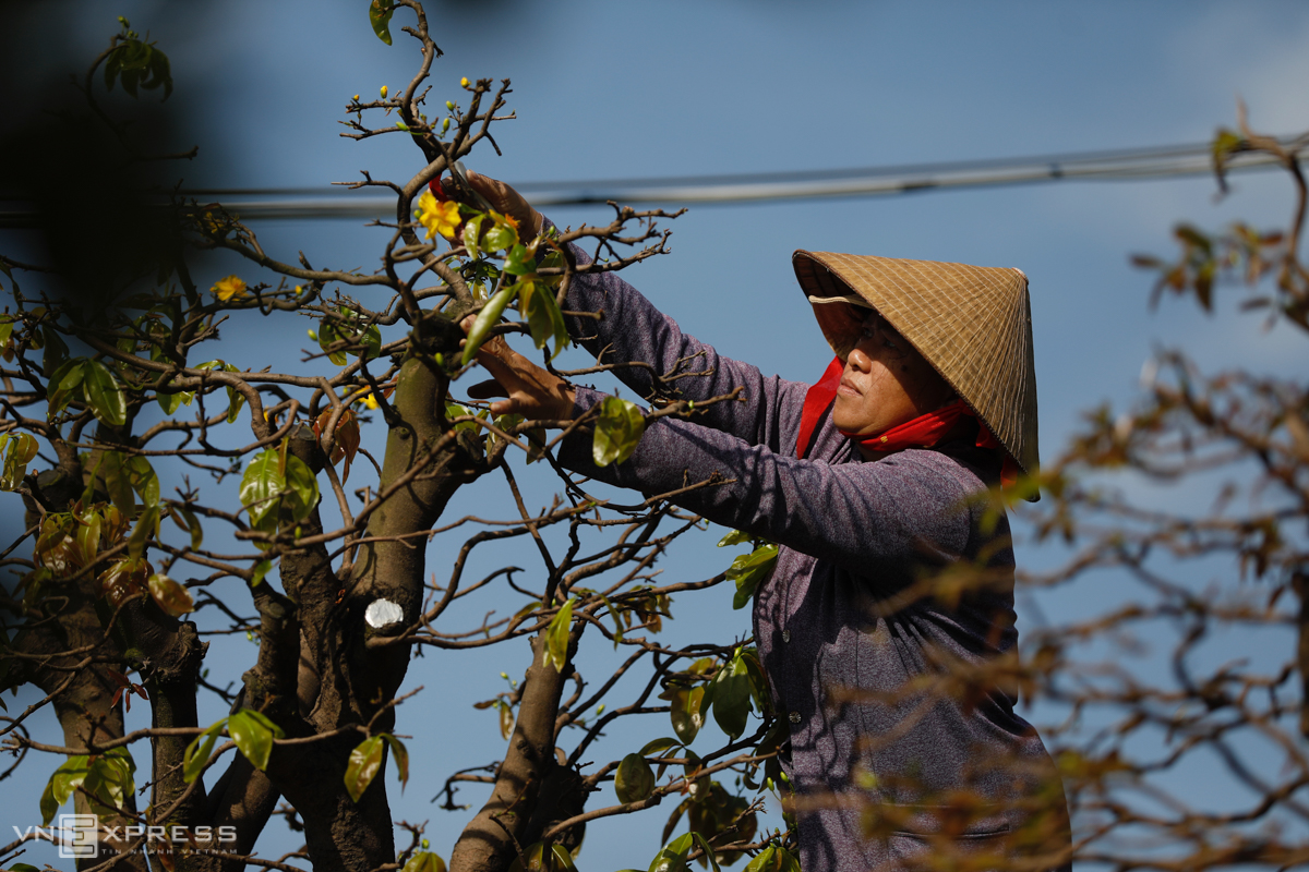 Worried by the pre-Tet flower bloom, garden owners decided to hire seasonal workers to take care of their plants.Apricot trees are fragile so we have to remove leaves, trim branches, get rid of zinc wire and replace pots in order for them to have more vitality, said Thu, a worker in an apricot garden in Thu Duc.