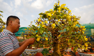 Blooming yellow apricot flowers have Saigon farmers in a sweat