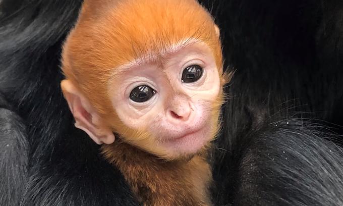 US zoo gives endangered baby langur Vietnamese name