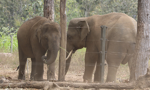 Tuskers saved from death convalesce in Central Highlands sanctuary