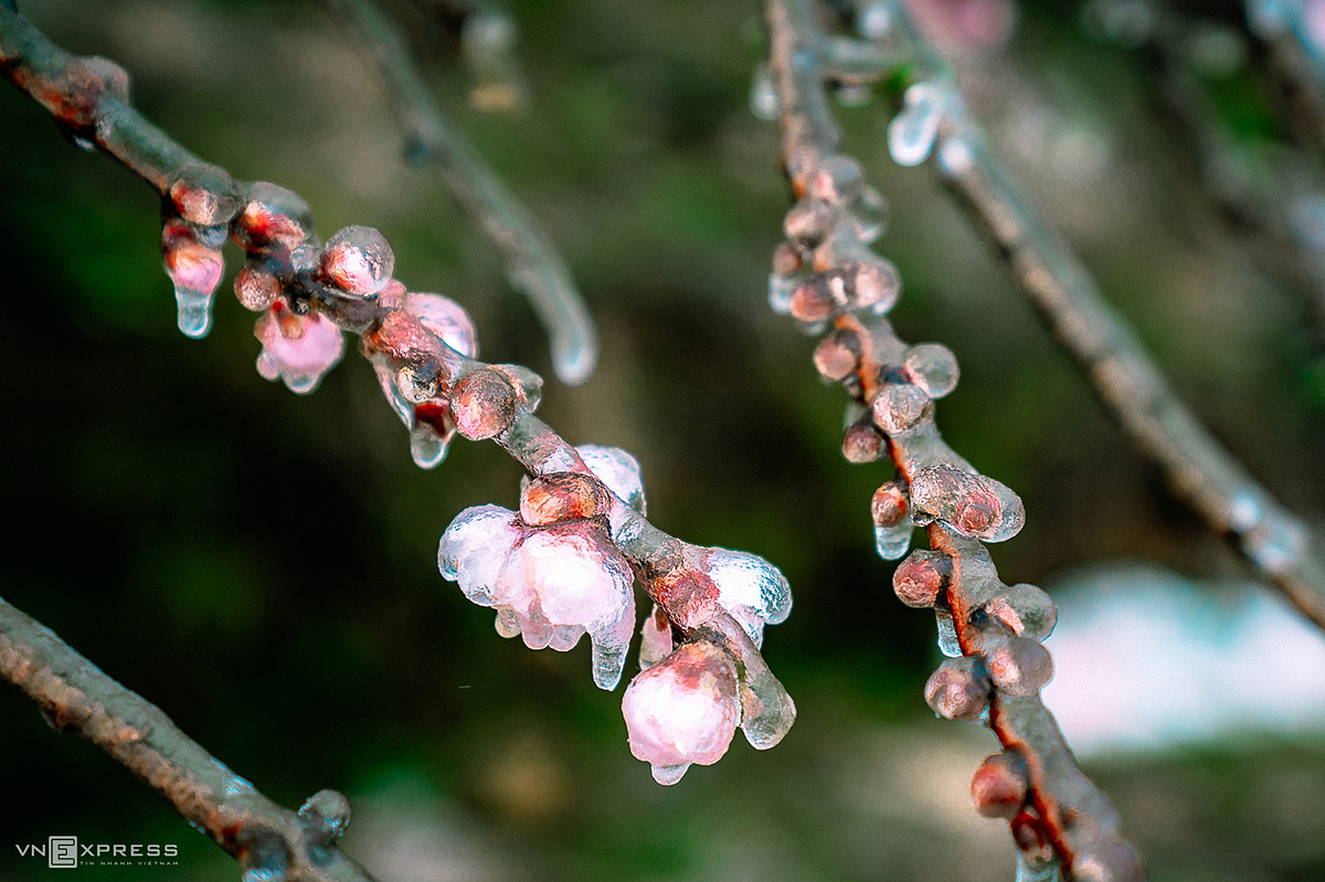Peach blossoms freezed in Sa Pa on January 11 as the famous highlands town was covered in frost and snow. Mountainous areas in northern Vietnam, including Moc Chau earlier this month suffered a cold spell caused by a strong cold front that sent temperatures plunging to below zero and covered the region in snow.