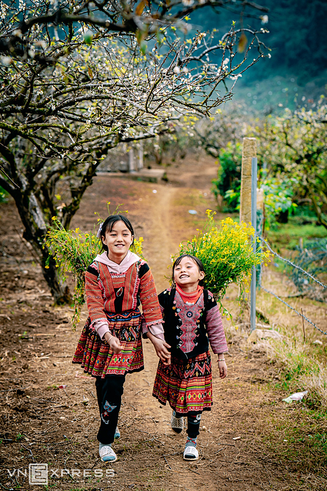 Two HMong girls carry yellow mustard flowers on their backs amid plum blossoms in Na Ka Village, a place known as spring paradise in the middle of the mountain, about 16 km from Moc Chau Farm Town in the northern mountainous province of Son La. Since the beginning of December, Moc Chau has put on a new coat with white color of early blooming plum blossoms, a symbol of spring season.