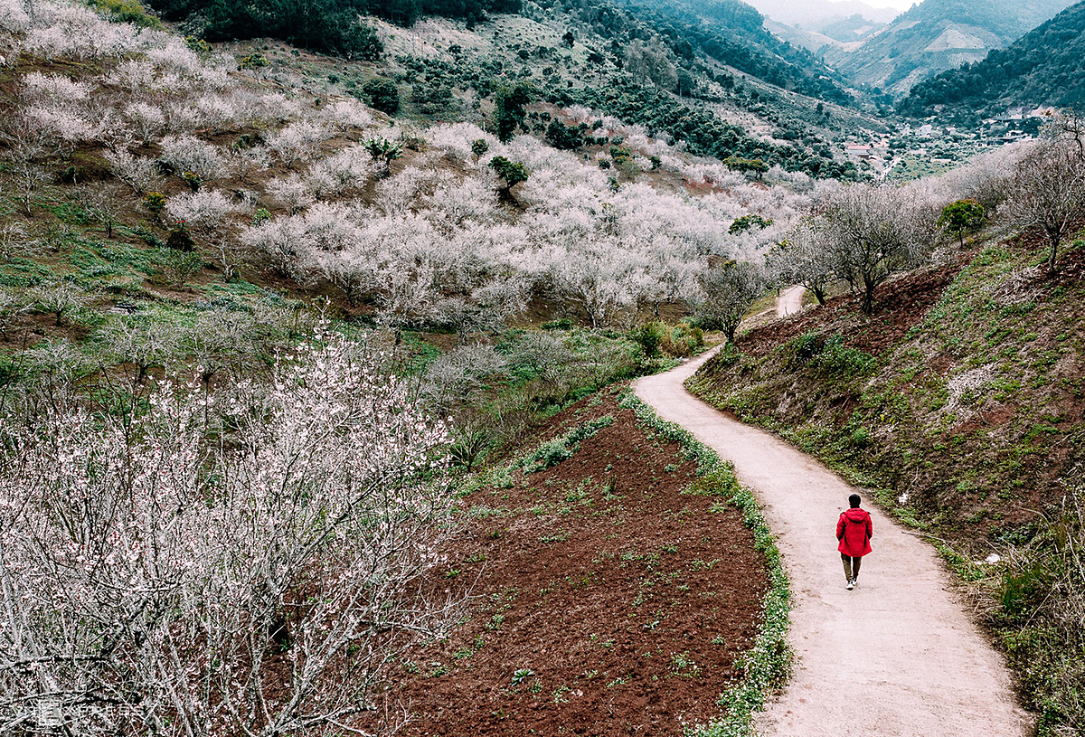 A man walks amid a apricot foests blooming in white on Moc Chau hills on January 9. Apricot blossom simultaneously for 2-3 weeks, covering valleys and hillsides.